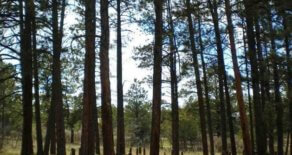 Level Lot with Towering Pines